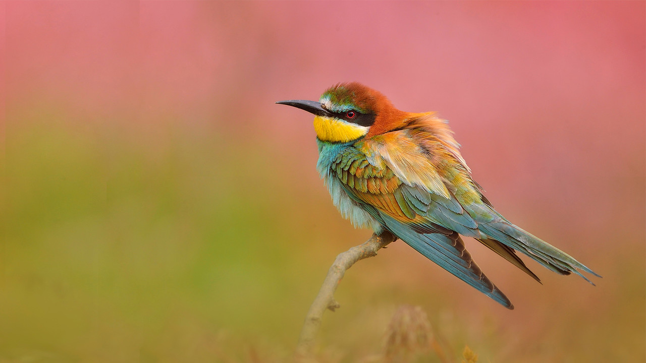 Bee-eater (1st)