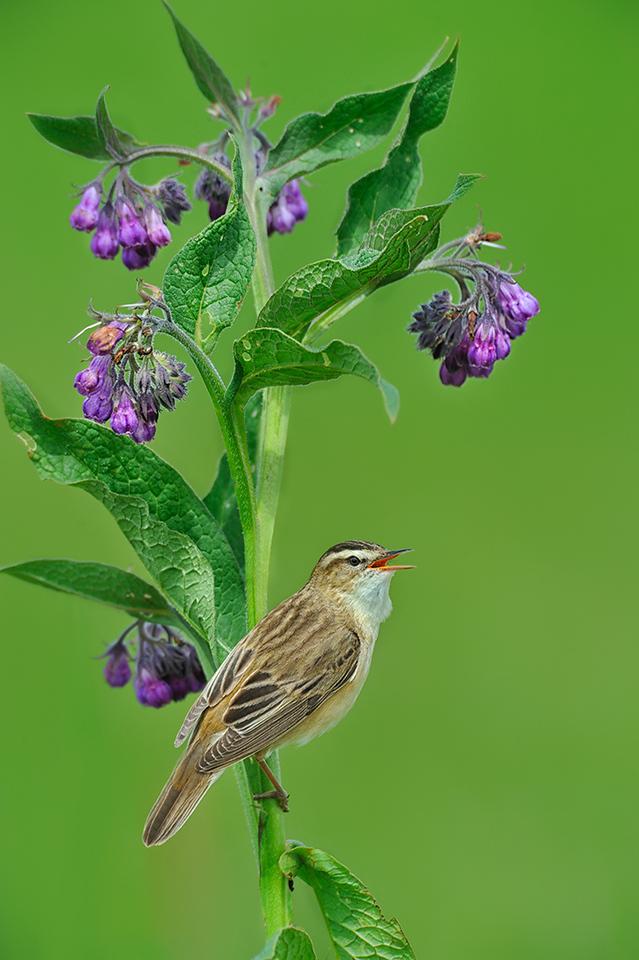 Sedge Warbler (3rd)
