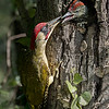 Green Woodpecker & Chick (1st)