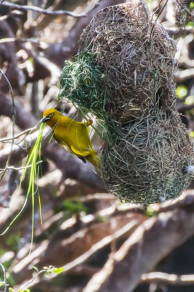 Weaver Bird Weaving