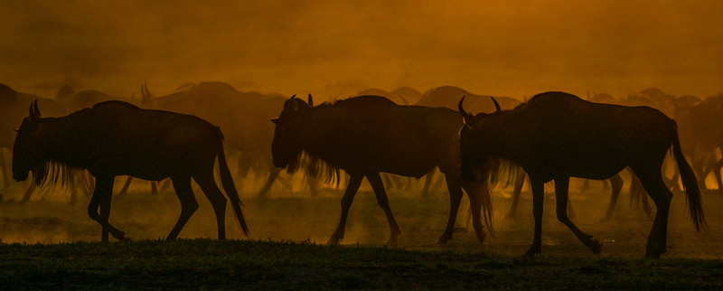 wildebeest in the dust