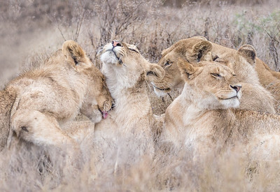 LIONS BONDING