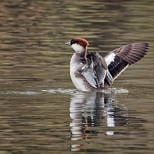 Female Smew Stretching Wings