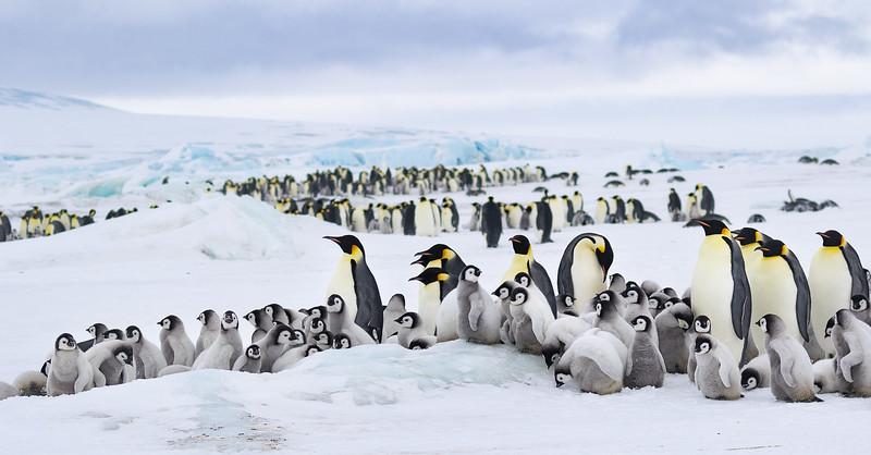 Emperor Penguins at Snow Hill Island