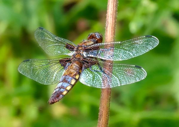 Broad-bodied Chaser Dragon Fly