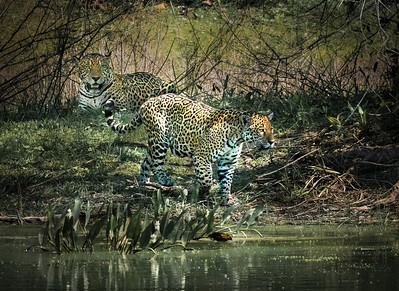 Jaguars at the Waterhole