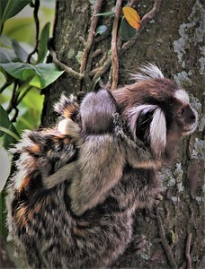 Marmoset and baby
