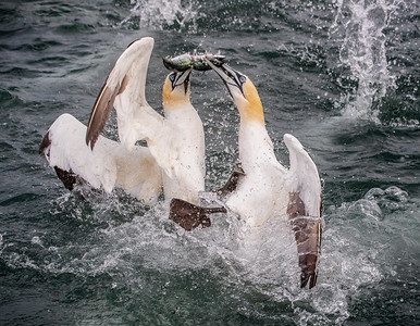 GANNETS FIGHTING OVER A FISH