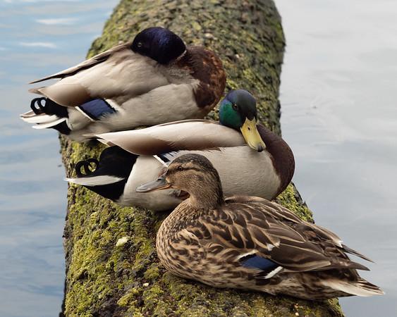 Sitting ducks (Anas platyrhynchos)