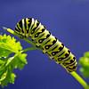 PAT-A-3rd-Bill Bower-Future Black Swallowtail