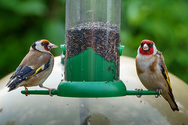 Male & female Goldfinches feeding