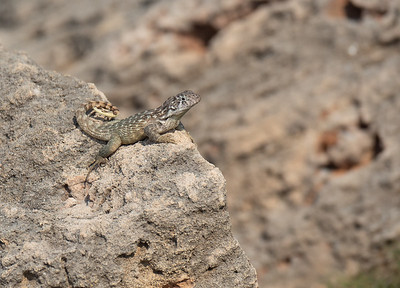 Cuban curly-tailed lizard (Leiocephalus carinatus labrossytus)