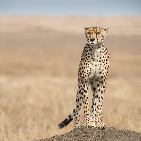 CHEETAH ON MOUND