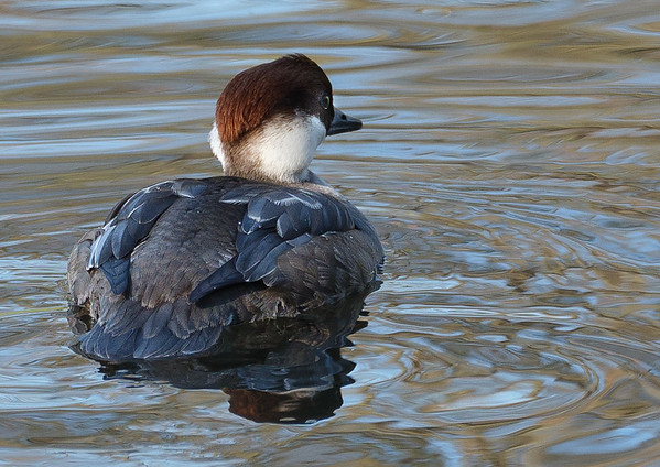 Female Smew