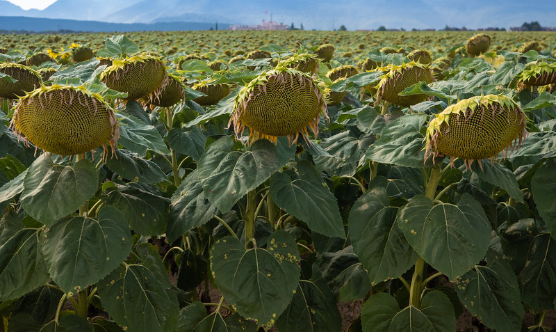Sunflowers at prayer