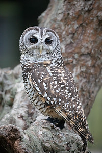 Rufus Legged Owl