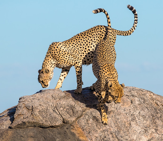 2 cheetah's on a rock