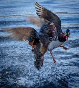 Mandarin Ducks fighting