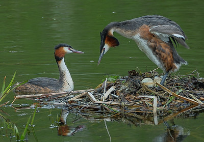 Great  Crested Grebes changing places
