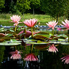REF-A-Susan Bailey-Water Lilies
