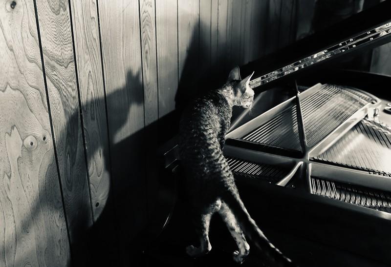 SHA-A-Kathryn Saunders-Steinway Cat