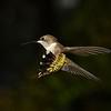 Wing-A-Don Hiscott-Hummer in Flight
