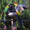 Wing-A-Kathryn Saunders-Red-capped Parrot
