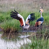 Wing-A-Pat Anderson-Mating Dance of the Crowned Crane