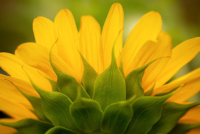 3-Intermediate-Open-1-Tamara_Cook-Sunrise_Sunflower