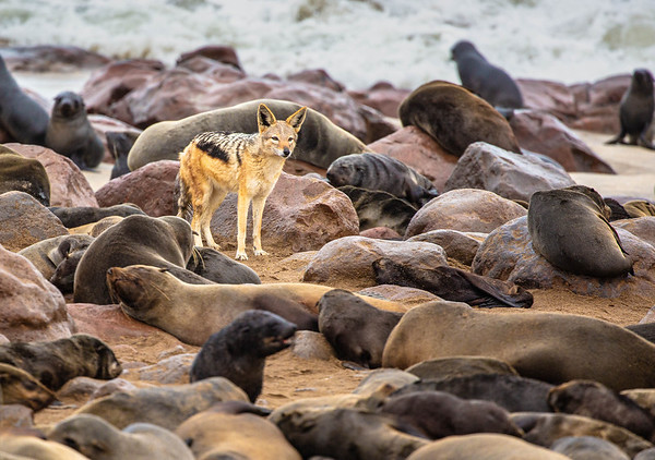 Jackal searching for seal pups