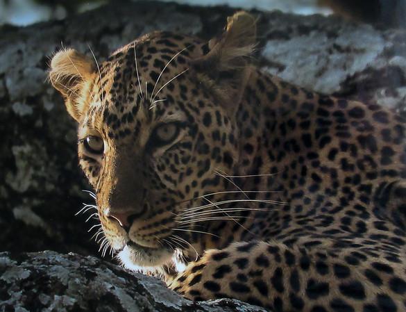 The quiet leopard at sundown