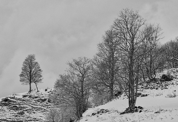 Mountainside Trees in Snow