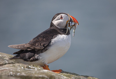 20_PUFFIN WITH SAND EELS_Annie Nash