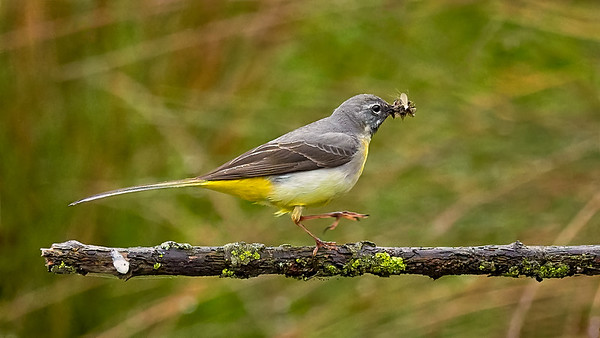 Grey Wagtail with Catch of the Day