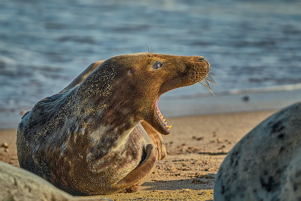 Yawning Grey Seal