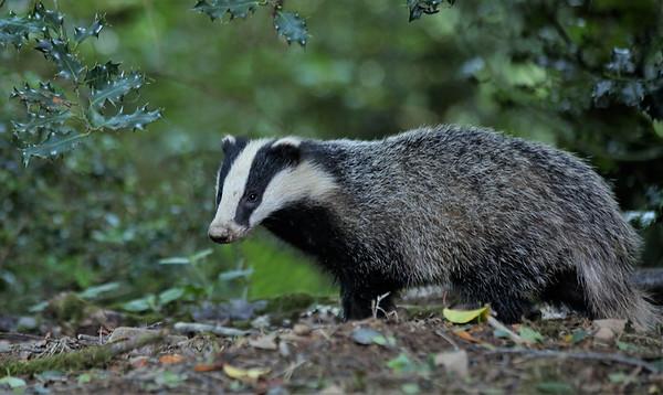 Badger at dusk