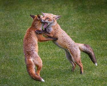 19_SPARRING FOX CUBS_Annie Nash