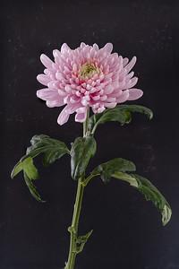 15_Chrysanthemum_John Morison