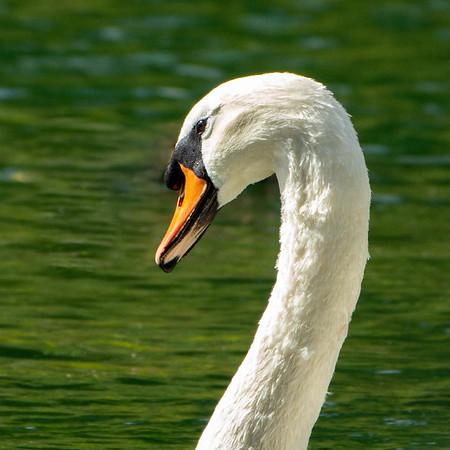 17_Swan head_Yvonne Marr