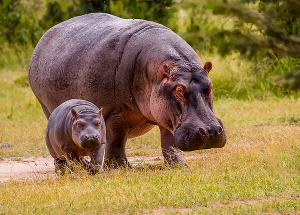 Hippo and baby 3