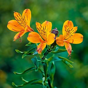 18_Peruvian Lily (Alstromeria)_Mark Caton