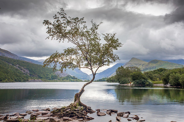 19_LONE BIRCH TREE LLANBERIS_Annie Nash