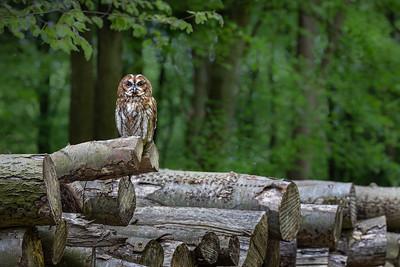 19_Brown Owl on logs_Annie Nash