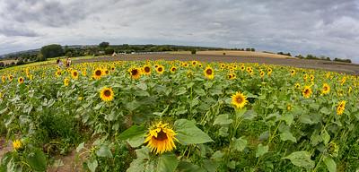Sunflowers at Hitchin