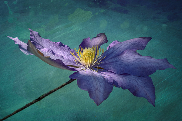 Floating Clematis