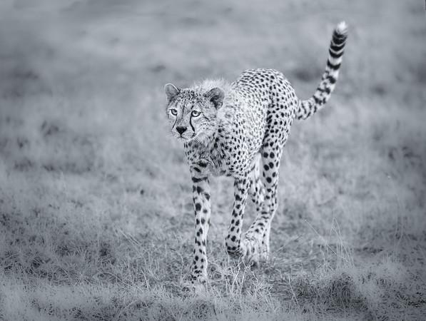 17_Juvenile Cheetah_Annie Nash