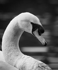 Swan curve