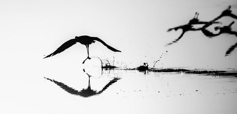 flamingo take-off