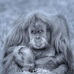 17_Old Orangutan_Annie Nash