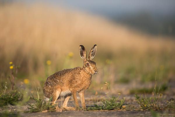 17_Hare in dandelion field_Annie Nash